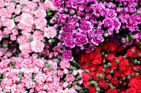 Carnations: The beautiful floral creation